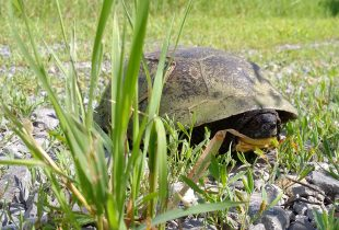 Shell shock: Ontario's turtle emergency
