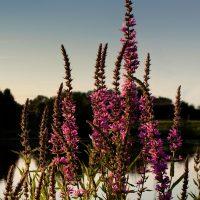 DUC's fight against invasive species
