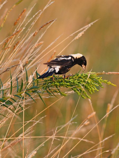 A grassland haven for the bobolink